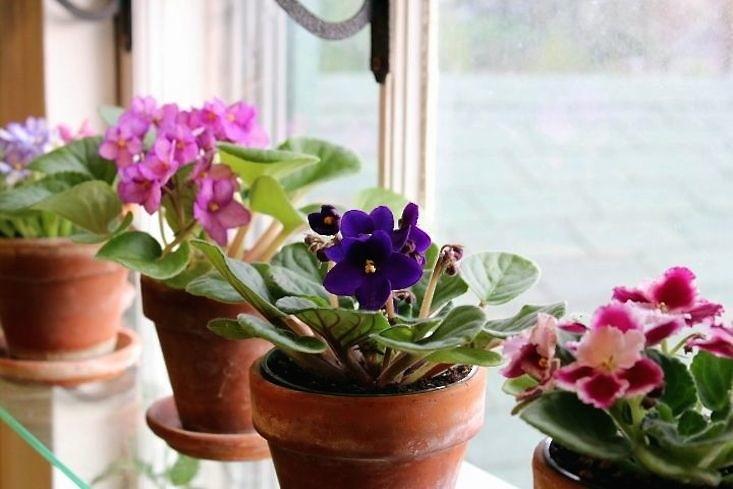 african-violets-valentines-houseplants-gardenista