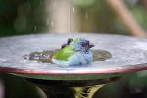blue-bird-in-birdbath-CC-andrea-oconnell-750px (1)
